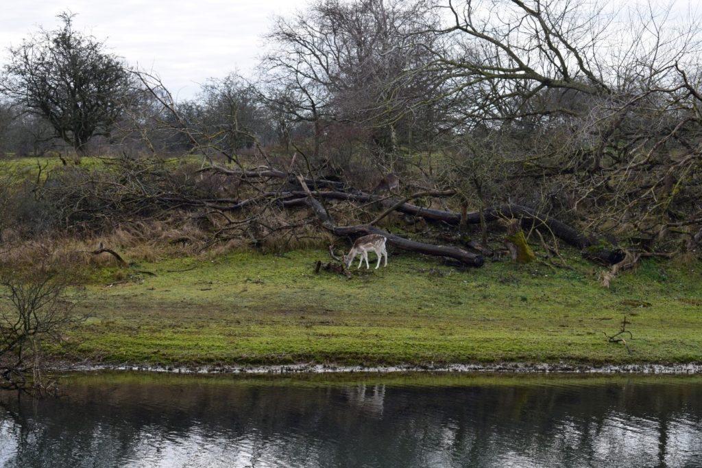 Damhert langs Zwarte veldkanaal (foto: Tessa/Lisette Vink)