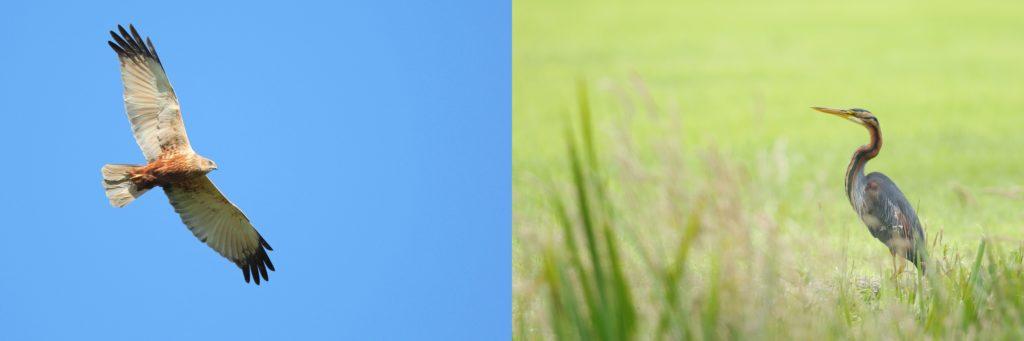 bruine kiekendief (lins) en  purperreiger (Rechts)