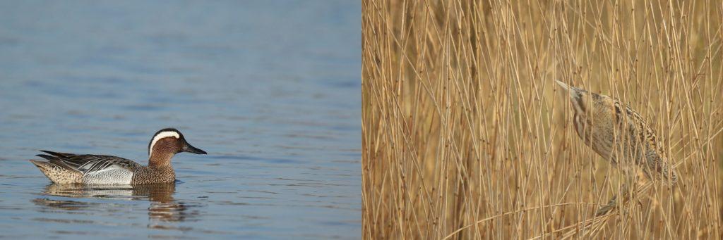 zomertaling (links) en  roerdomp (rechts)